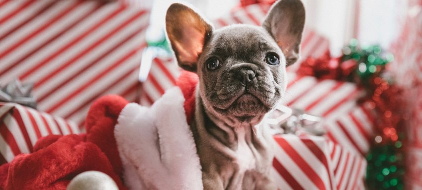 a puppy of a French bulldog in Christmas decorations
